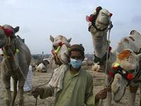 "A trader wearing a facemask as a preventive measure against the spread of the COVID-19 coronavirus, as he hold his camels while waiting for customers at a cattle market set up for the upcoming Muslim festival Eid al-Adha also called ""Festival of the Sacrifice"", in Rawalpindi on July 20, 2020.  Aamir QURESHI / AFP"