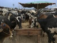 "A trader feeds the cows at a cattle market set up for the upcoming Muslim festival Eid al-Adha also called ""Festival of the Sacrifice"", in Rawalpindi on July 20, 2020. Aamir QURESHI / AFP"