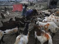 "Traders feed goats at a cattle market set up for the upcoming Muslim festival Eid al-Adha also called ""Festival of the Sacrifice"", in Rawalpindi on July 20, 2020. Aamir QURESHI / AFP"