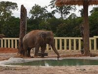 Newly arrived Asian elephant Kaavan drinks water in his new enclosure at the Kulen Prom Tep Wildlife Sanctuary in Cambodia's Oddar Meanchey province on December 1, 2020. TANG CHHIN Sothy / AFP