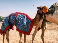 A participant in Dubai's camel festivals. There, camels race and win beauty contests (Twitter)
