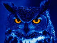 owls unlucky for arabs