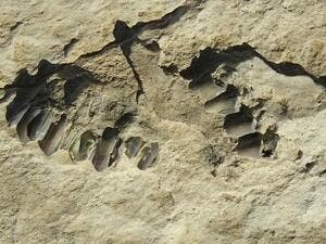 This photo shows animal fossils eroding out of the surface of the Alathar ancient lake deposit. A total of 233 fossils were found at the site, as well as footprints  (AFP)