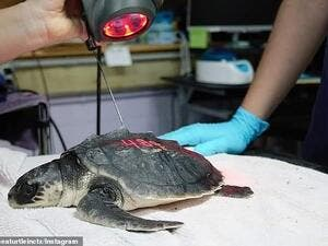 Rehab staff conducting laser therapy on a juvenile Kemp's ridley sea turtle patient. (Instagram)