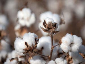The Cotton Egypt Association estimates that about 90 percent of global supplies of Egyptian cotton last year were fake. (File photo)