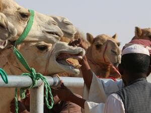 The relationship between camels and their handlers can be fraught at times. (AFP/File)