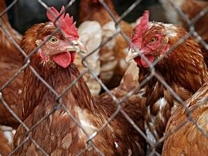The US bird flu outbreak is believed to have begun on March 1. (Pixabay)