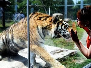 A visitor in Shanghai looks at a tiger in a glass enclosure. (AFP/File)