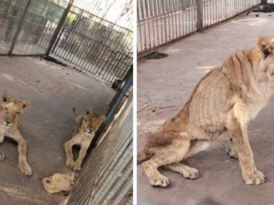 Lions Starving in a Sudanese Zoo Outrage Social Media and Prompt Calls to Rescue Them