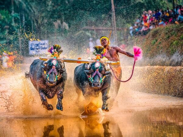 "In this photo taken on January 31, 2020, Srinivas Gowda, 28, hailing from the Dakshina Kannada district runs alongside his buffalos during 'Kambala', the traditional buffalo racing event, held at Aikala village in Dakshina Kannada district about 30 kms from Mangalore. Indian sports authorities will hold trials for a buffalo jockey dubbed as ""Usain Bolt"" on social media for his speed after he set a record in a traditional race, officials said February 15. Rathan Barady / AFP"
