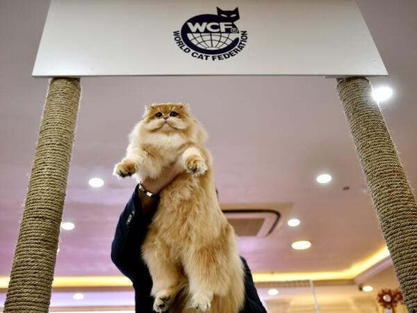 A judge holds a cat during Vietnam's first national cat show in Hanoi on February 16, 2020 amid concerns of the COVID-19 coronavirus outbreak. Manan VATSYAYANA / AFP