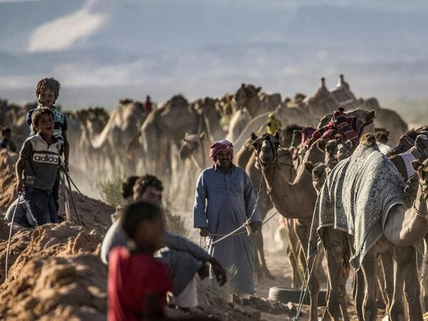 Bedouins prepare their camels for a race in Egypt's South Sinai desert on September 12, 2020, after more than six month of hiatus due to the coronavirus outbreak. KHALED DESOUKI / AFP