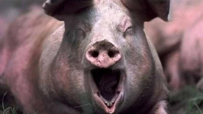Palestinians claim Israeli pigs are chasing them off their land