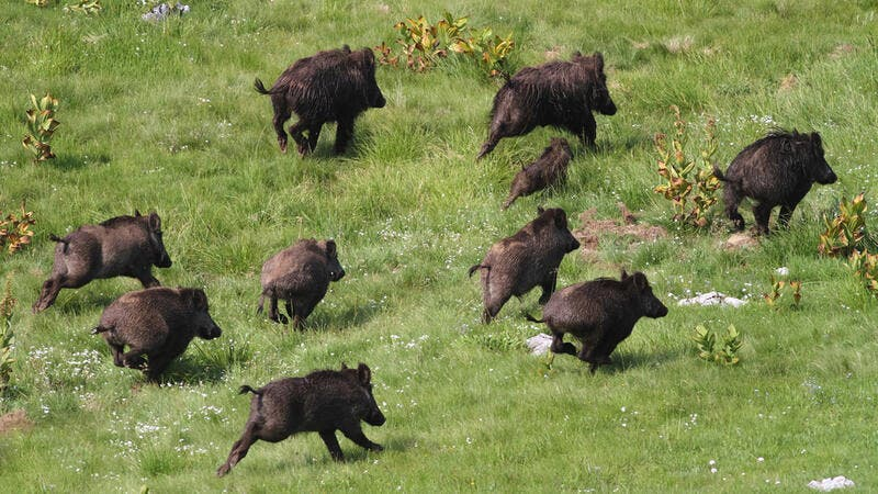 Palestinian farmers have not been able to cull the wild boar population, which is increasingly wreaking more havoc. (Shutterstock)