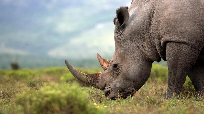 A close up photo of an endangered white rhino (Shutterstock)