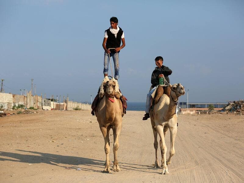 Palestinian youths riding camel (Twitter)