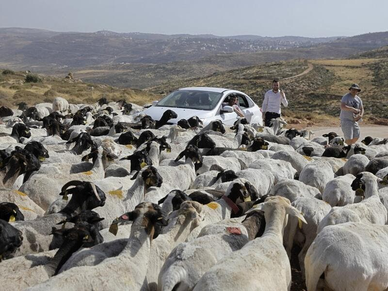 Israelis looks at a herd of sheep belonging to settlers from a nearby outpost of Itamar settlement, southeast of the Palestinian city of Nablus, on June 8, 2020 in the occupied West Bank. The government of Israeli Prime Minister Benjamin Netanyahu has said it could begin the process to annex Jewish settlements in the West Bank as well as the strategic Jordan Valley from July 1. The plan -- endorsed by Washington -- would see the creation of a Palestinian state, but on reduced territory, and without Palestin
