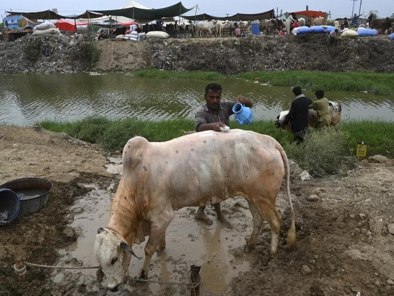 "Traders give bath to bulls at a cattle market set up for the upcoming Muslim festival Eid al-Adha also called ""Festival of the Sacrifice"", in Rawalpindi on July 20, 2020. Aamir QURESHI / AFP"