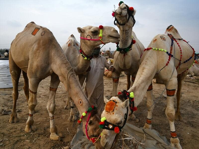 "A trader feeds camels at a cattle market set up for the upcoming Muslim festival Eid al-Adha also called ""Festival of the Sacrifice"", in Rawalpindi on July 20, 2020. Aamir QURESHI / AFP"