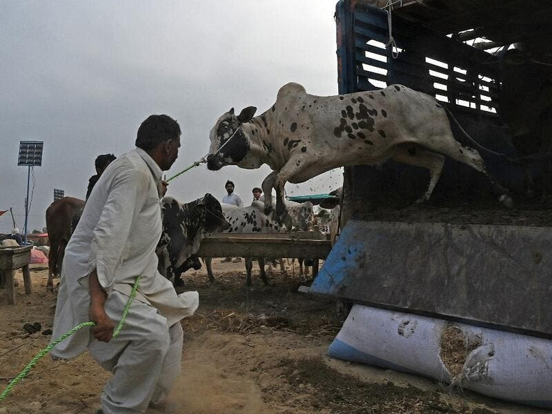 "A trader unloads a cow from a truck at a cattle market set up for the upcoming Muslim festival Eid al-Adha also called ""Festival of the Sacrifice"", in Rawalpindi on July 20, 2020. Aamir QURESHI / AFP"