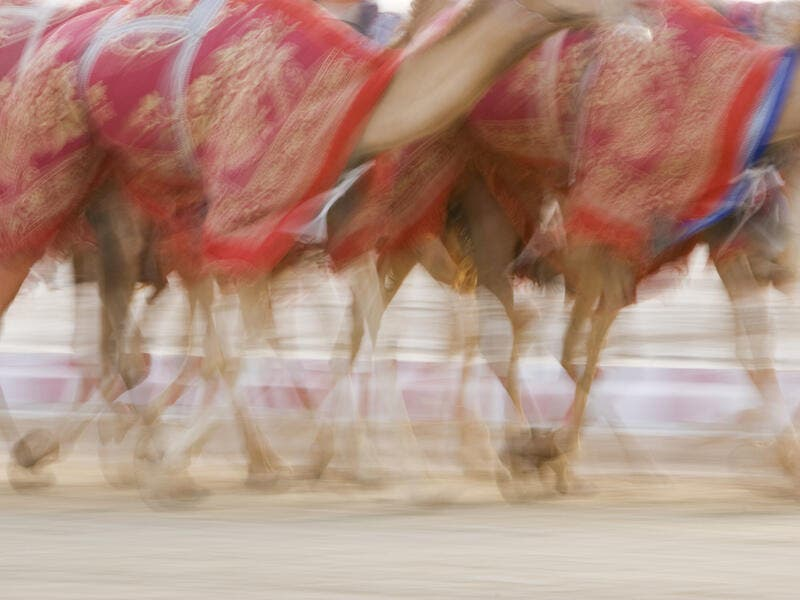 Dubai: Blurred motion of camels running during training at the Nad Al Sheba Camel Racetrack (Shutterstock/File Photo)