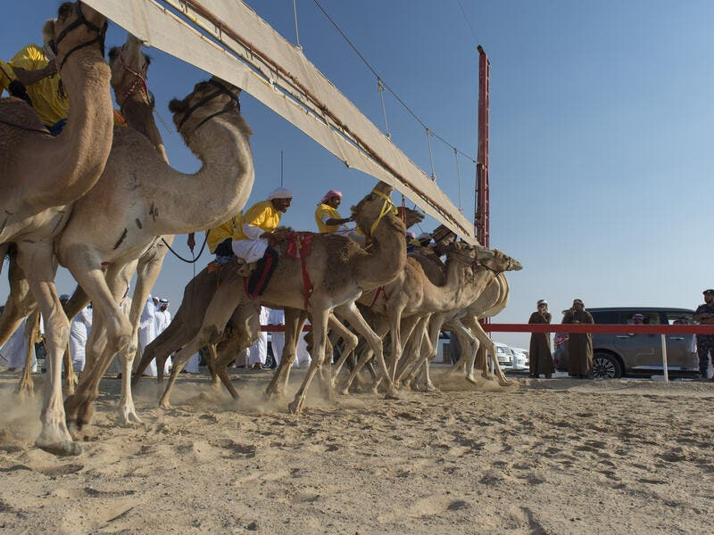 At the starting line: Camels with their Jockeys at the Al Dhafra Camel Festival in the United Arab Emirates (Shutterstock/File Photo)