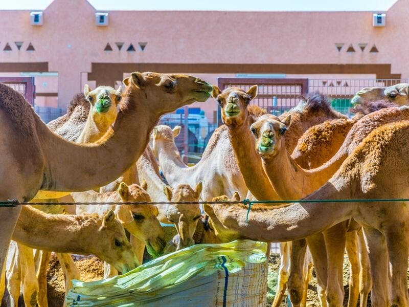 Animals in captivity in the camel market at Al Ain. Camels are mainly used for transportation and for racing (Shutterstock/File Photo)