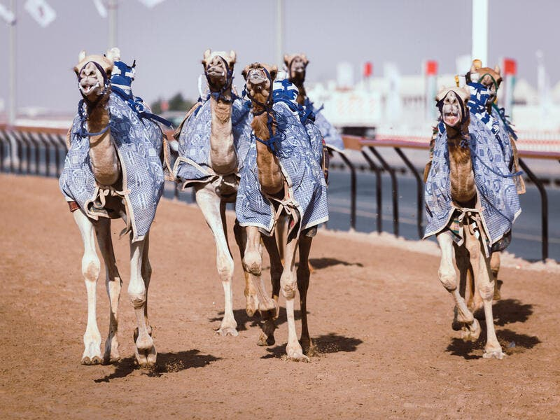 Racing camels with a robot jockeys (Shutterstock/File Photo)