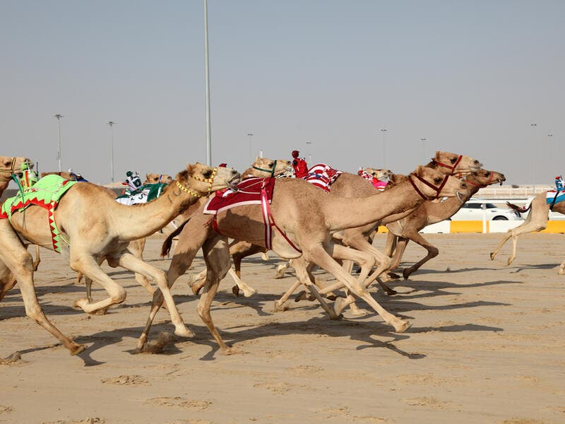 Racing camels with robot jockeys (Shutterstock/File Photo)