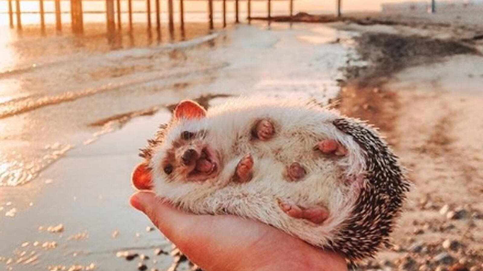 Herbee the happy hedgehog was last month pictured giving the world a smile as she lay on the palm of Talitha's pal in South Tyrol, Italy. (Mr Pokee/ Instagram)