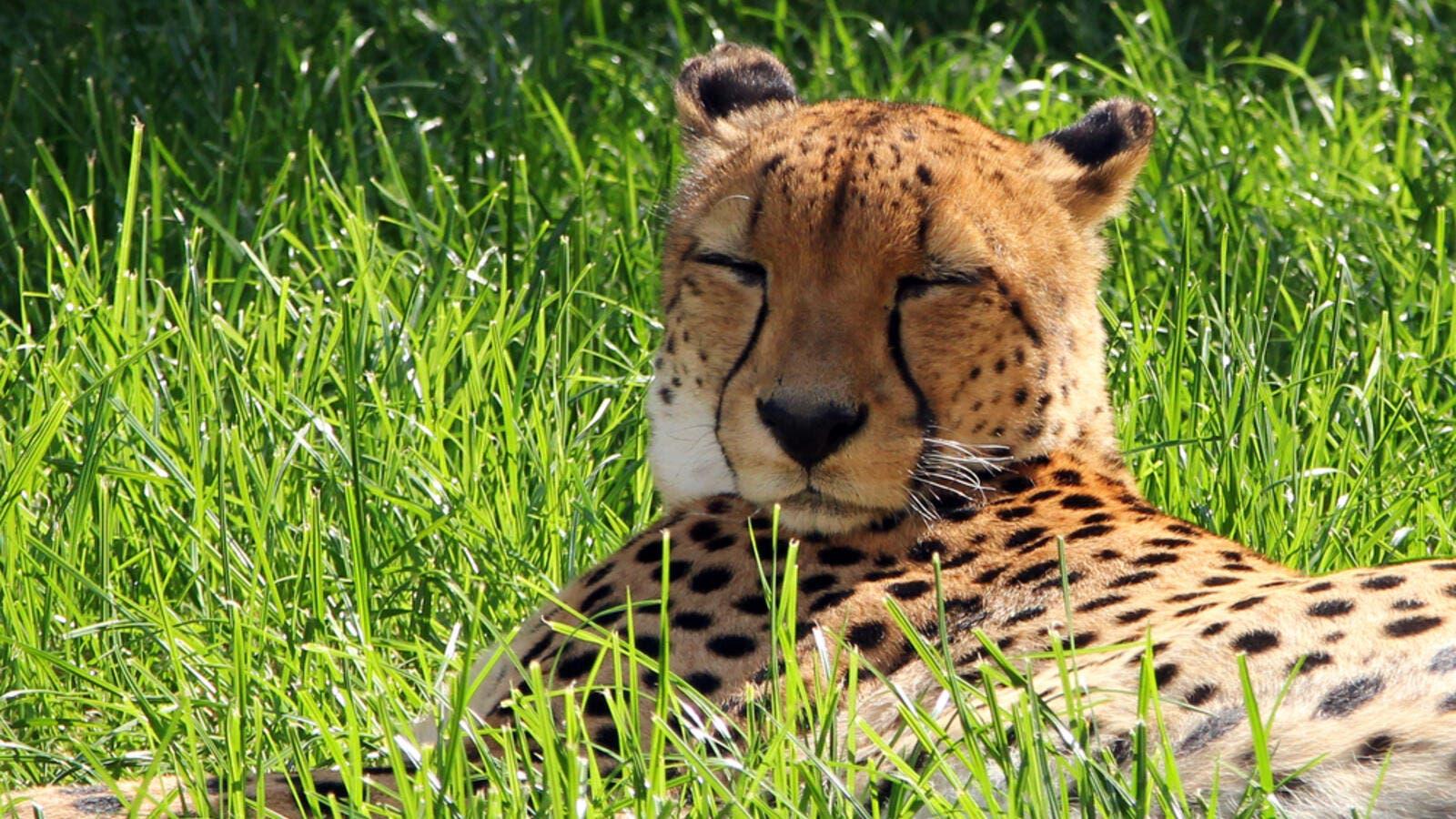 Iran Builds 8KM Passage to Protect Asiatic Cheetah | Al Bawaba