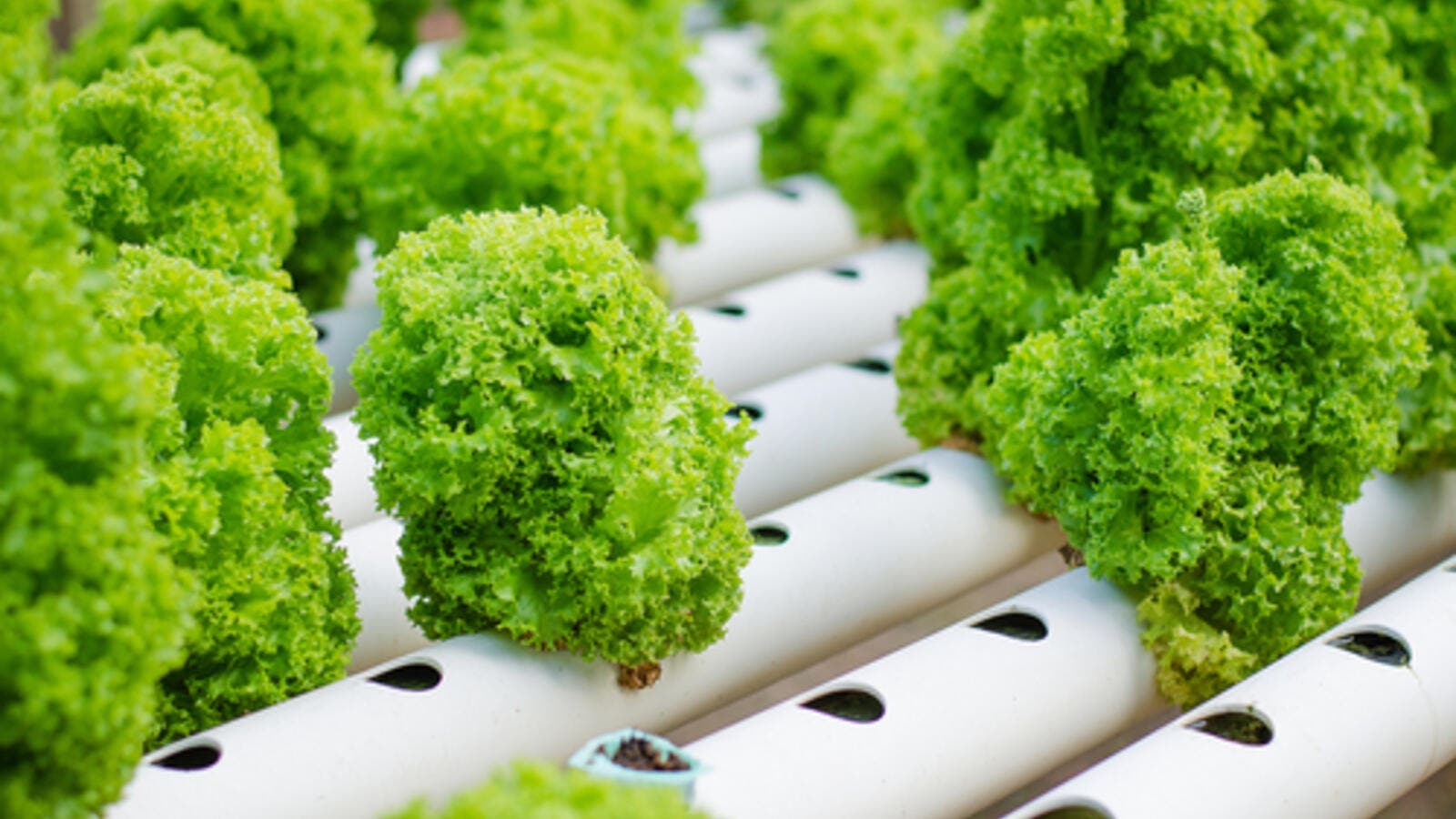 Cora salad grown by hydroponics for illustrative purposes. (Shutterstock)