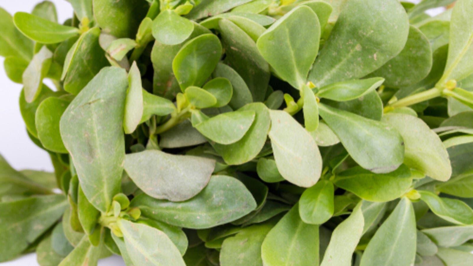 فوائد نبتة الرجلة نبتة البقلة Portulaca_oleracea.j