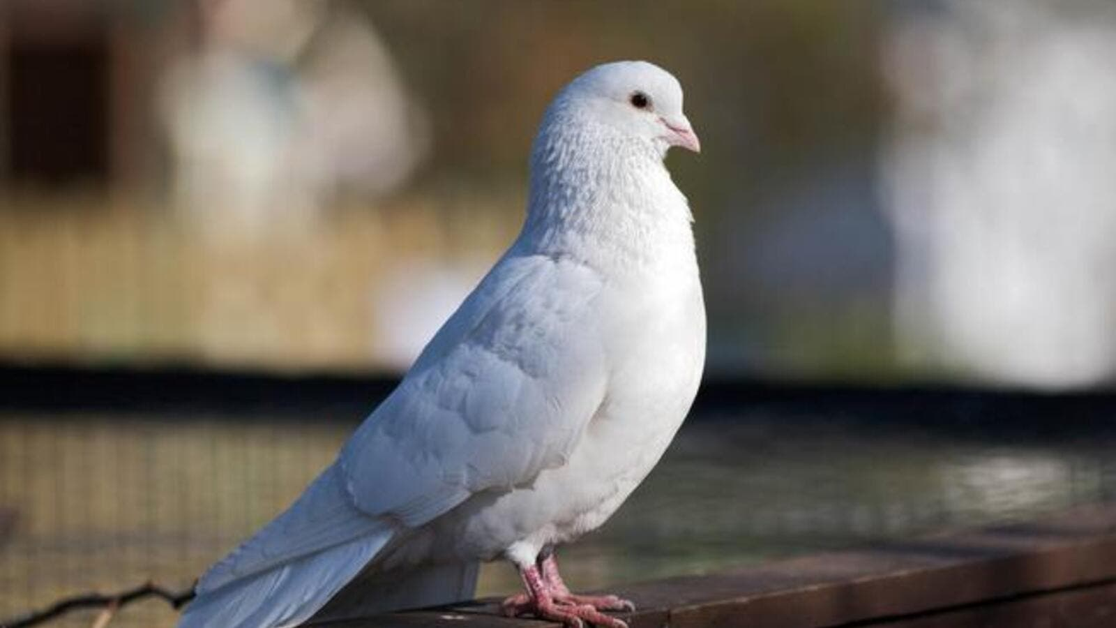 "Even this white dove thinks it's funny. (Image source: ""betsisthreelittlebirds.blogspot.com"")"