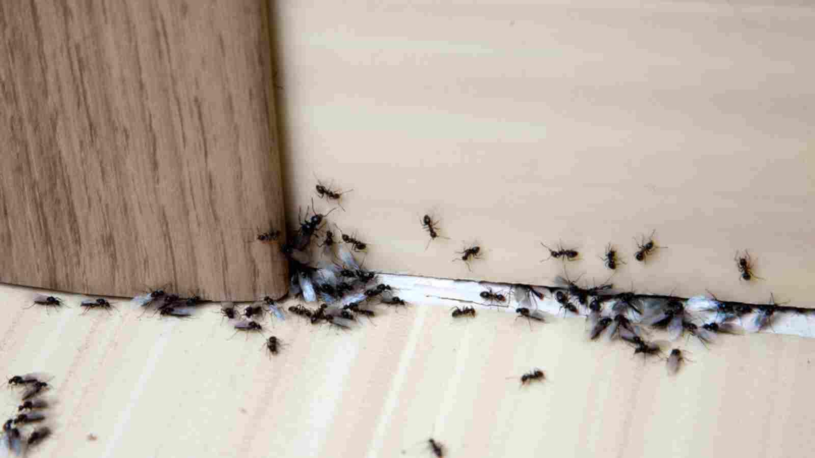 إجراء البعوض خوخ تكاثر النمل في المنزل Virelaine Org