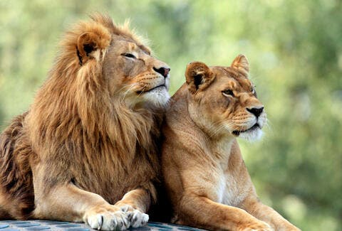 Hilarious Video: Male Lion Gets Rejected by a Lioness