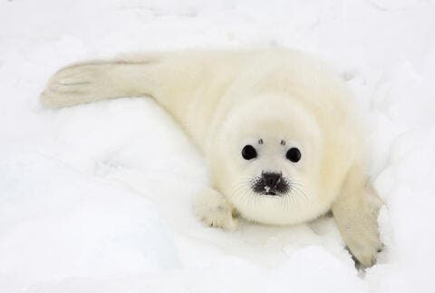 Baby Seal 'Petted to Death' on a Russian Beach