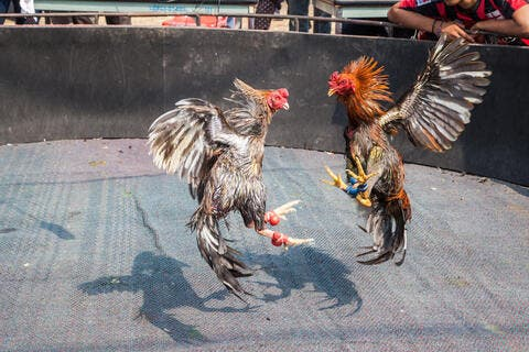 India: A Rooster Kills a Man With a Knife. But How?