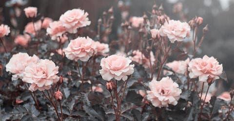 Pink Roses in Saudi Gardens Wait For Spring