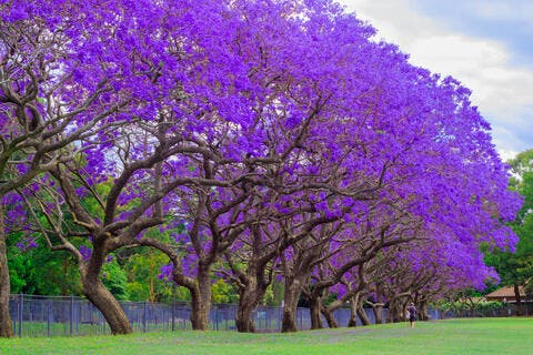 Saudi: 25,000 Jacaranda Trees Splash Color in Abha