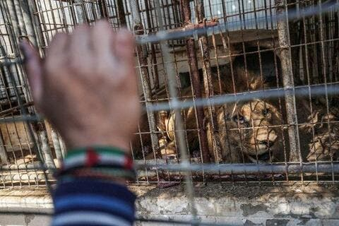 Who is The Big Bad Wolf in the Gaza Zoo? The Israelis Maybe