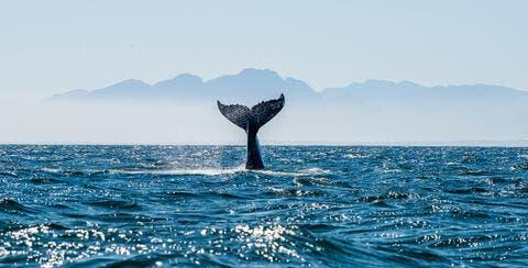 Humpback Whale Found Dead on Saudi Asir Beach